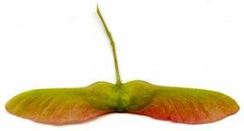 beim herabfallen dreht sich die frucht wie ein propeller. Black Bedroom Furniture Sets. Home Design Ideas